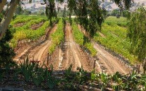 Barossa Vineyards