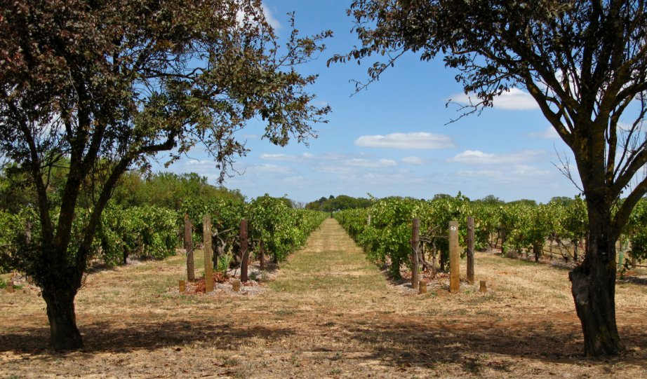 Coonawarra vineyards