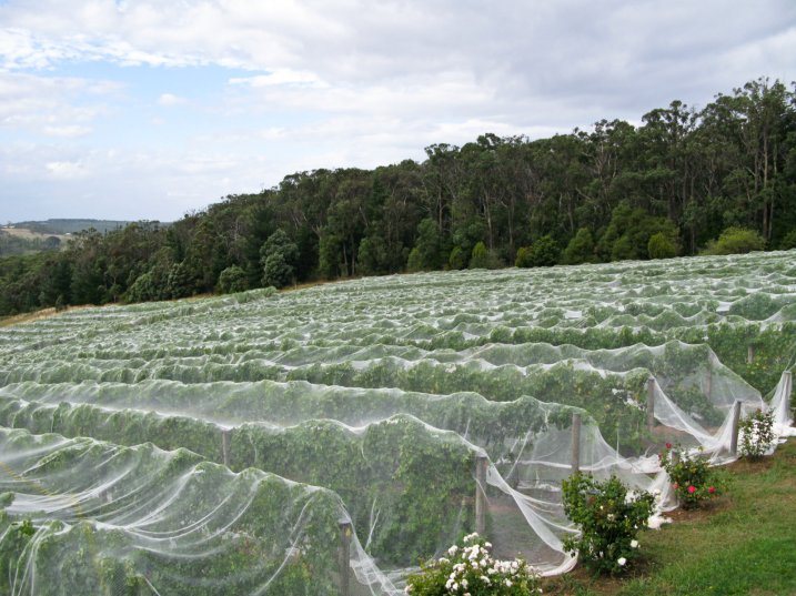 Netted vineyards in the Mornington Peninsula