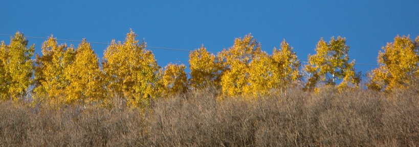 Aspens in the morning light