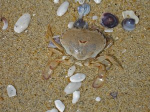 Crab in the sand and shells