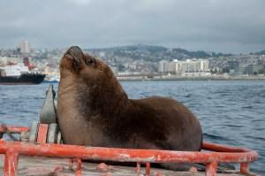 Sea Lion on a buoy