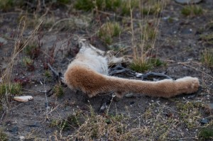 Guanaco parts left by a puma on the killing field