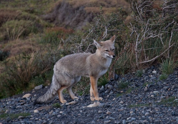 A grey fox in Torres del Paine