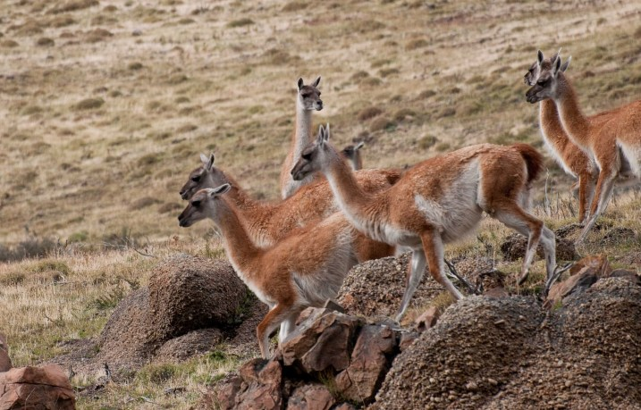 Guanacos on the move