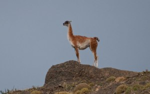 A male quanaco acting as a sentry on the ridge