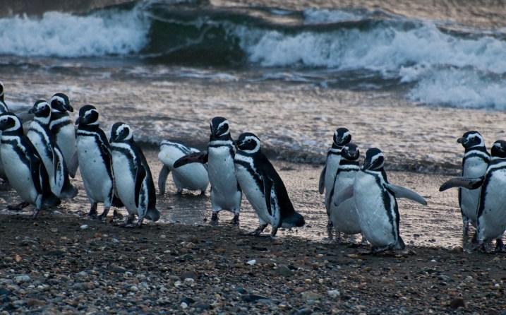 The penguin colony near Punta Arenas