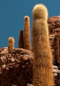 Candelaria cacti