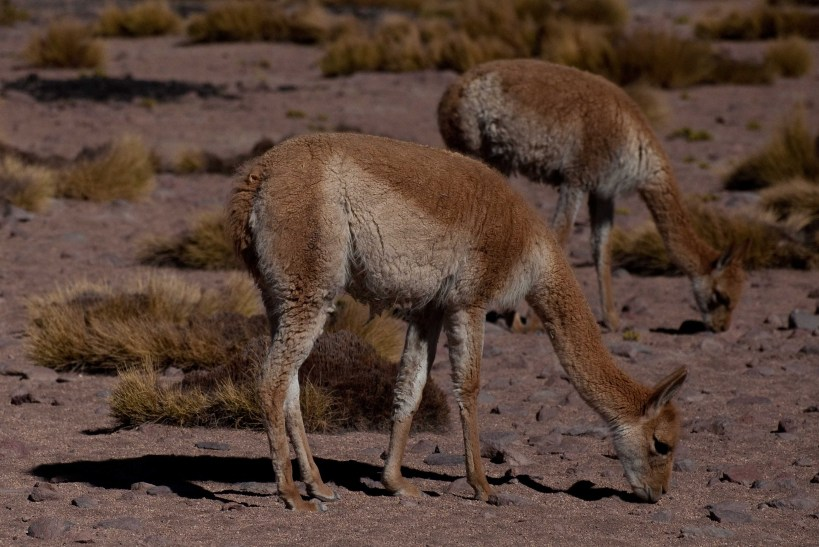 Vicunas grazing on a high Andean Plain