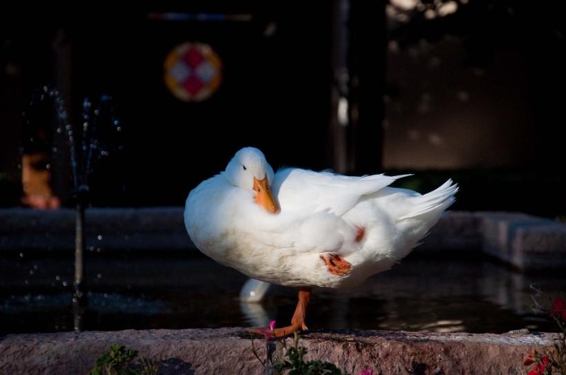 A resting duck at Termas de Cauquenes