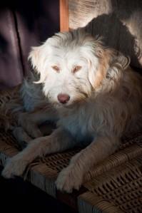 A lounging dog at Termas de Cauquenes