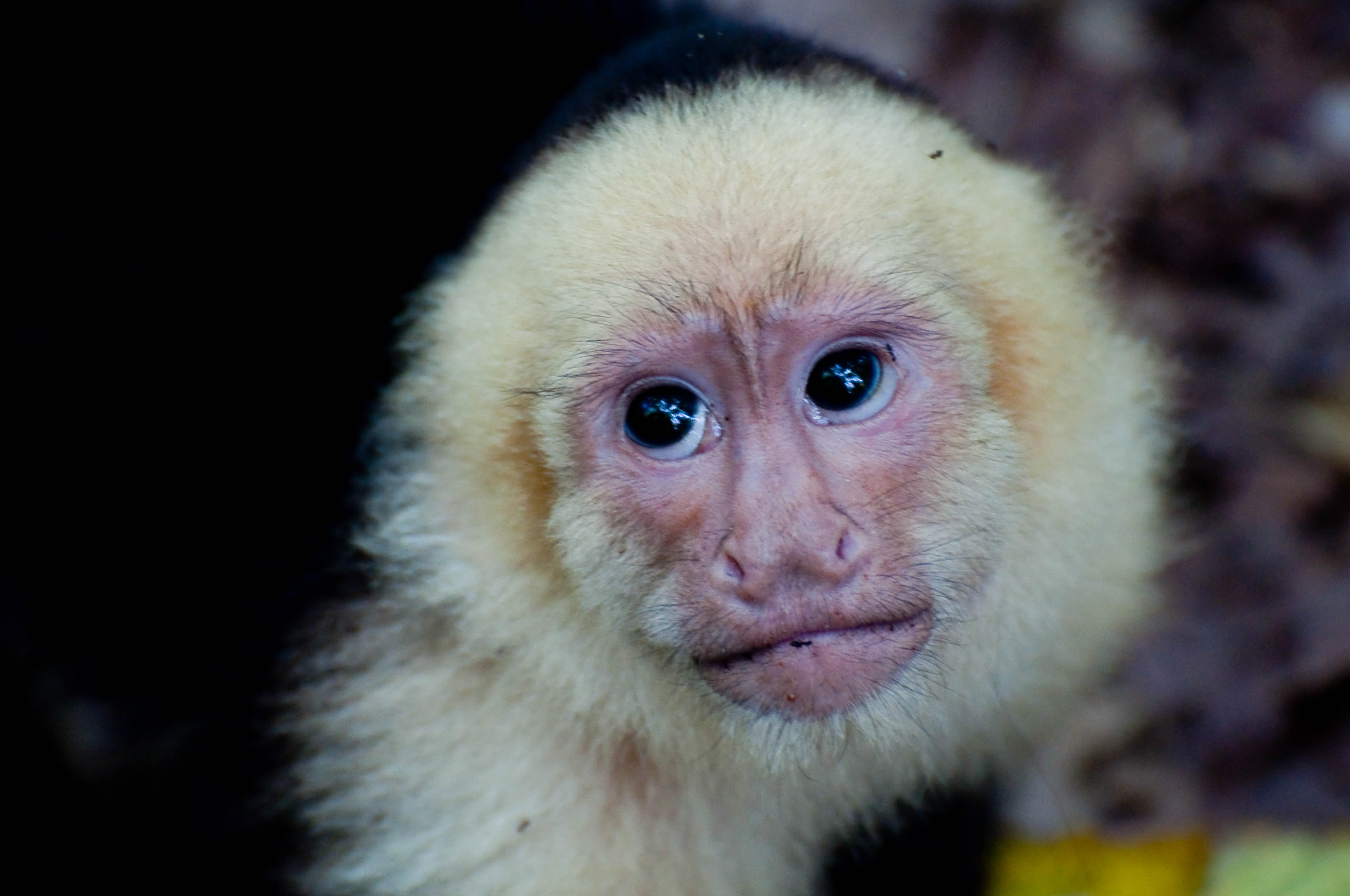 White Faced Capuchin Facts White Faced Capuchin Pet Dsc