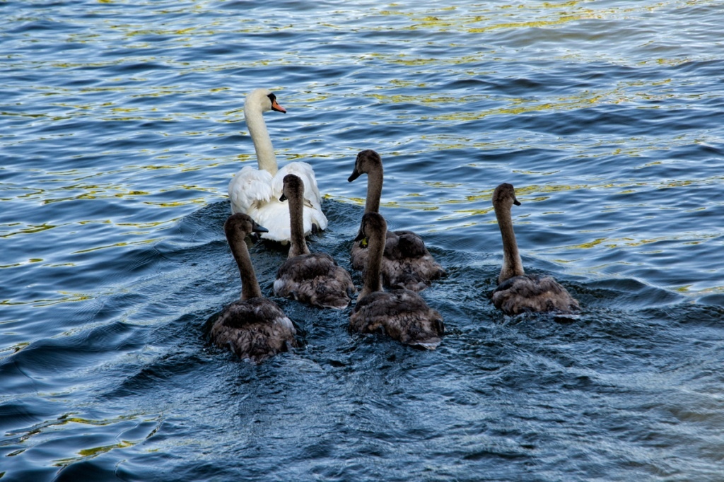 Nearby, in plain view, cygnets escape molestation by the Uppers.