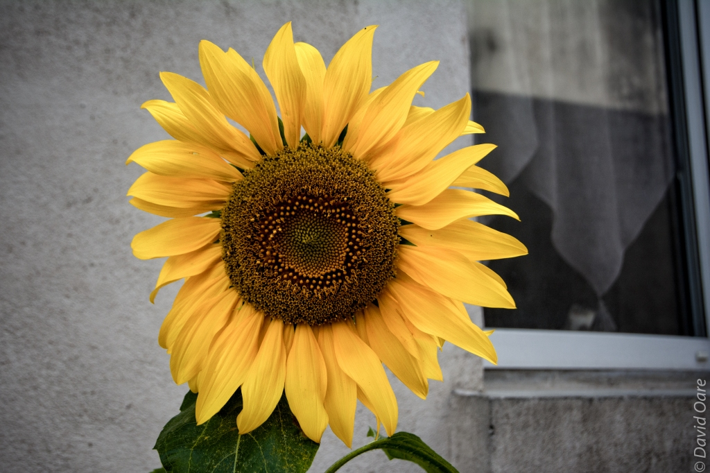 A sunflower in France